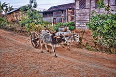 The oxen start work early here in Patu village (Neville Wootton Photography) Tags: burma farmers holidays kalaw lightroom myanmar onestoptraveltours patu people topazlabs