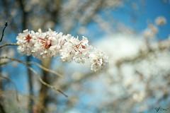 Clyne Garden (vinujoseph1) Tags: wales clyne clynegarden swansea flower