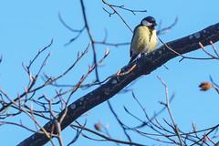 20170409_bieley_0032.jpg (elmayimbe) Tags: schwalmbachtal monschau deutschland landschaft europa kohlmeise vögel eifel kalterherberg perlenbachtal