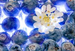 Glaze - Blue and White. (Heidi St.) Tags: blueberries blume glaze heidelbeere iberis macro makro makromonday pflanze pflanzen schleifenblume tortenguss blaue gelb weis mondays macromondays