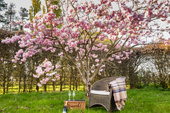 picnic under the cherry tree (Marlytyz) Tags: tree blossom cherry picnic hamper champagne rug