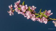 Peach blossoms (Milen Mladenov) Tags: 2017 d3200 nikon blossom blossoms branch flowers leaf leafs leaves peach spring tree