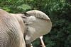 D3X_2341 (Akira Uchiyama) Tags: 動物たちのいろいろ 耳 耳アフリカゾウ
