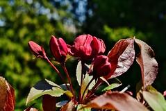 DSC_0134 (Me now0) Tags: spring park europe nikond5300 1855mmf3556 basiclens afternoon пролет никонд5300 китовобектив софиябългарияевропа юженпарк redjapanesecherryblossom червенаяпонскавишнацвят