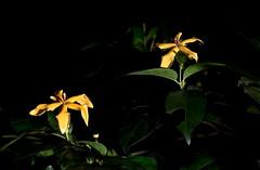 Randia audasii flowers (Xylopia) Tags: randia randiaaudasii daintreegardenia rubiaceae arfp qrfp tropicalarf lowlandarf uplandarf arfflowers yellowarfflowers