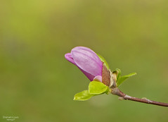 Magnolia (ape maya77) Tags: magnolia fiore flower macro campo garden rosa pink viola lilla panasonic fz200 lumix