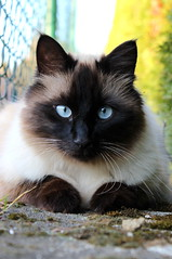 Beautiful cat (Lana Prosenak) Tags: cat cats beautifulcats eyes beautifuleyes