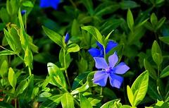 Fleur (LT.:.) Tags: fleur bleu violine bokeh