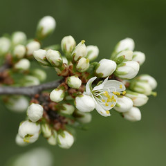 Bloesem (Geziena) Tags: wit bloem bloemknoppen tak boom natuur mooi closeup lumix lx100