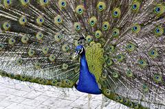 Peacock (szlavid) Tags: nikon d7000 nikkor 50mm 18g zoo animal big birds budapest peacock color