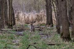 4D3A7804 (marcwalter1501) Tags: damadama daim forêts animaux selestat illwald 5dmk4 canon cervidé