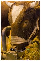 _PPD9352a (duport.patrick) Tags: vache cow fair salon agricole agriculture paris versailles porte patrick duport gosier bobigny international nature lait milk