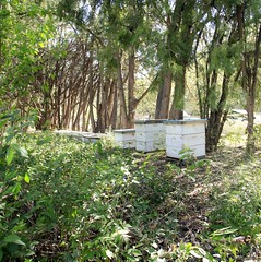 Bee hives (JoelDeluxe) Tags: florafaunafarm flora fauna farms southvalley nm newmexico davis house ducks pond walnuts elms bees fields sheep goats joeldeluxe