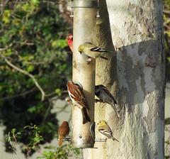 Madrona Marsh Nature Center Feeders (weezerbee9) Tags: