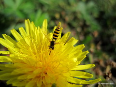 Hoverfly (Syrphidae) (Hannah E. Davis) Tags: fly pollinator yellow mimic mimicry nature animal insect wildlife flower