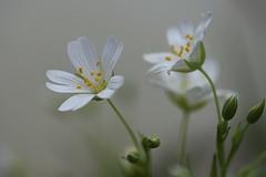 Demoiselles (Callie-02) Tags: profondeurdechamp macro canon extérieur jardin fleur