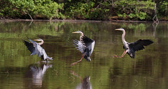 Touch down (John's Love of Nature) Tags: greatblueheron ardeaherodias distinguishedbirds