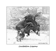 Levitation Lessons (Oul Gundog) Tags: afghan hounds play dogs cullybackey sketch mono levitation lessons co antrim ulster norn ireland