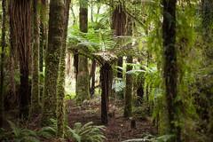 Katote tree fern (Cyathea smithii) (Sitoo) Tags: cyatheasmithii katote newzealand oceania endemic fern forest green jungle soil travel tree trres vegetation