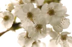 Cherry tree blossom (Andy Cash) Tags: 2017 andycash fenton nature smithpoolpark unitedkindom trees