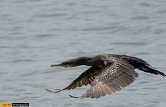 Great cormorant @ Kollam (sibi ar ( I'm BACK :)) Tags: