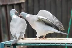 21 April 2017 (22) (AJ Yakstrangler) Tags: yakstrangler pigeon pigeons