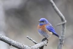 Western bluebird (jlcummins - Washington State) Tags: bird bethelridge washingtonstate whitepasshighway nature fauna mountainbluebird yakimacounty fantasticnature