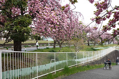 untitled (t-miki) Tags: akabane tokyo 赤羽 東京 cherryblossom 桜