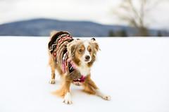 Laika Ready to Attack | Vermont, USA (ynaka29) Tags: laika dog aussie toyaussie australianshepherd toyaustralianshepherd redmerle manchester vermont snow golfcourse winter
