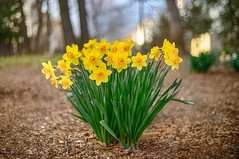 daffodils (kderricotte) Tags: voigtlandernokton40mm14 sonya7ii sony bokeh depthoffield flower spring bright daffodil outdoor