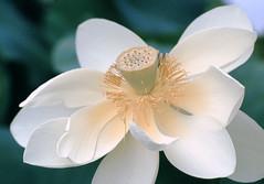06-image009.tif (hemingwayfoto) Tags: blã¼hen blã¼te blume frankreich lotosblume blühen blüte fc panther