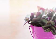Llegó la primavera (Panthea616) Tags: primavera spring rosa lío20 reto19 catchycolors