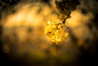 Kirscblüte im Sonnenuntergang