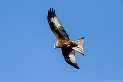 High as a Kite (Steve C Waddingham) Tags: stevenwaddinghamphotography bird prey wild wildlife nature soar flight canon sigma