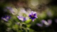 Anemone apennina impression (ΞSSΞ®®Ξ) Tags: ξssξ®®ξ pentax k5 flower angle 2017 plant outdoor smcpentaxm50mmf17 underwood spring anemoneapennina microsofrphotos blur edit tones bokeh light magic