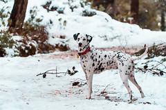 Fist time in snow (Leo Hidalgo (@yompyz)) Tags: mijas snow nieve montaña pitia perro dog dalmatian dálmata málaga yompyz