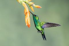 Western Emerald-2920.jpg (donnatopham) Tags: tigerheron ecuador hummingbird tandayapa multiflash
