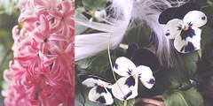 103/365 more flowers (SarahLaBu) Tags: diptych diptychon 365the2017edition 3652017 day103365 13apr17 canoneos500d canonrebelt1i hyazinthe hyazinth flowers blumen pink stiefmütterchen pansies