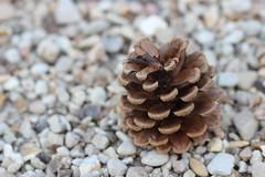 Goûter d'écureuil (Mademoiselle N) Tags: nature macro fleur flower pomme de pin
