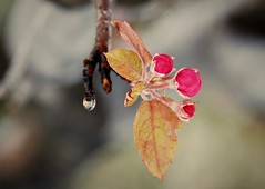 Trials May Come:  Crabapple Buds and Melting Snow (Ginger H Robinson) Tags: trials crabapple buds tree hardy blossoms frozen melting ice snow cold water droplet tested true springtime colorado macro