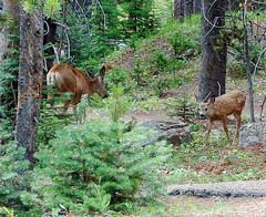 Fawn and Mom, Yellowstone 2011 (inkknife_2000 (7.5 million views +)) Tags: yellowstonenp muledeerfamily canyonlodge deer fawns wildlife dgrahamphoto deerforaging fawnandmom usa nationalparks
