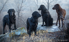 We've Got All Directions Covered (Blazingstar) Tags: blazingstar flatcoated retrievers dog black liver cava puffin larkin tinder