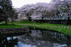 Pond and Sakura (tez-guitar) Tags: sakura cherryblossom cherry blossoms bloom spring flower pond water reflection reflections sagamihara park