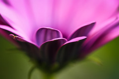 ..it is but a gentle, fleeting feeling... (dawn.tranter) Tags: dawntranter macro bokeh flower petals purple gentle fleeting feeling beauty softness
