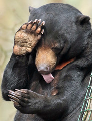 sunbear Ouwehands BB2A2232 (j.a.kok) Tags: beer bear maleisebeer mammal sunbear honingbeer honeybear malayan maleisie asia azie zoogdier ouwehands ouwehandsdierenpark