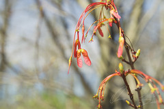 Double Samaras (Something Wild Photography) Tags: double samaras helicopter seed seeds seedling tree trees nature natural blooms bloom blooming pink red blossom blossoms blossoming spring springtime seasons season macro maple mapletree
