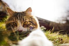 I see you (bonygårds) Tags: cat animal sun sunlight sunrise spring eyes yellow grass sky sunshine kitten kitty paw paws glance ears catears cateyes cateye sweden sverige falun dalarna nature