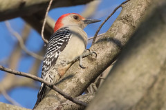 Red-Bellied Woodpecker 4-4-2017-4 (Scott Alan McClurg) Tags: aves dendropicini mcarolinus melanerpes neoaves neognathae neornithes pici picidae piciformes picinae animal autumn back backyard bird life nature naturephotography neighborhood perch perching spring suburbs wild wildlife yard delaware