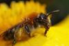 Miner bee on marsh marigold #2 (Lord V) Tags: macro bug insect bee minerbee