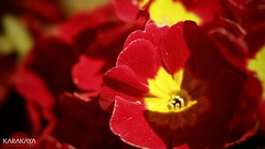 #photography #canon700d #istanbul #bahar #spring #flowers #flower #snapseed  #çiçek #colorofspring #colourful (oppeslife) Tags: colorofspring çiçek snapseed colourful spring canon700d flower istanbul photography bahar flowers